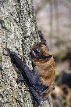Noctule (Nyctalis noctua) -  photo by Belizar