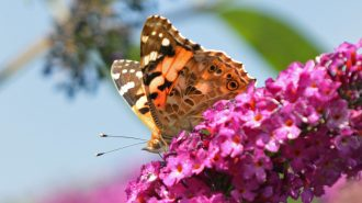 Painted Lady (Vanessa cardui) - photo by Alan Coe