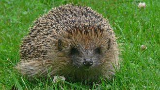 Hedgehog (Erinaceous europaeus) - photo by Tim Melling