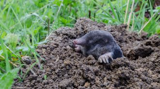 Mole (Talpa europaea) - photo by Tim Melling