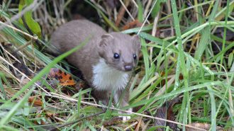 Weasel (Mustela nivalis) - photo by Alan Coe