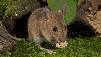 Wood mouse (Apodemus sylvaticus) - photo by Wildlifesnapper