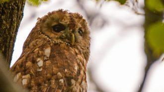 Tawny Owl (Strix aluco), photo by Alan Coe