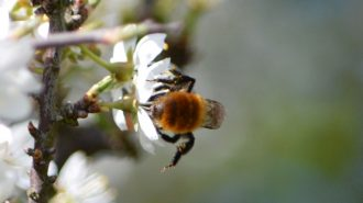 Common carder bee on blackthorn blossom (photograph by Alan Coe)
