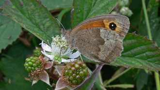 Meadow Brown Butterfly on Bramble (photograph by Tim Melling)