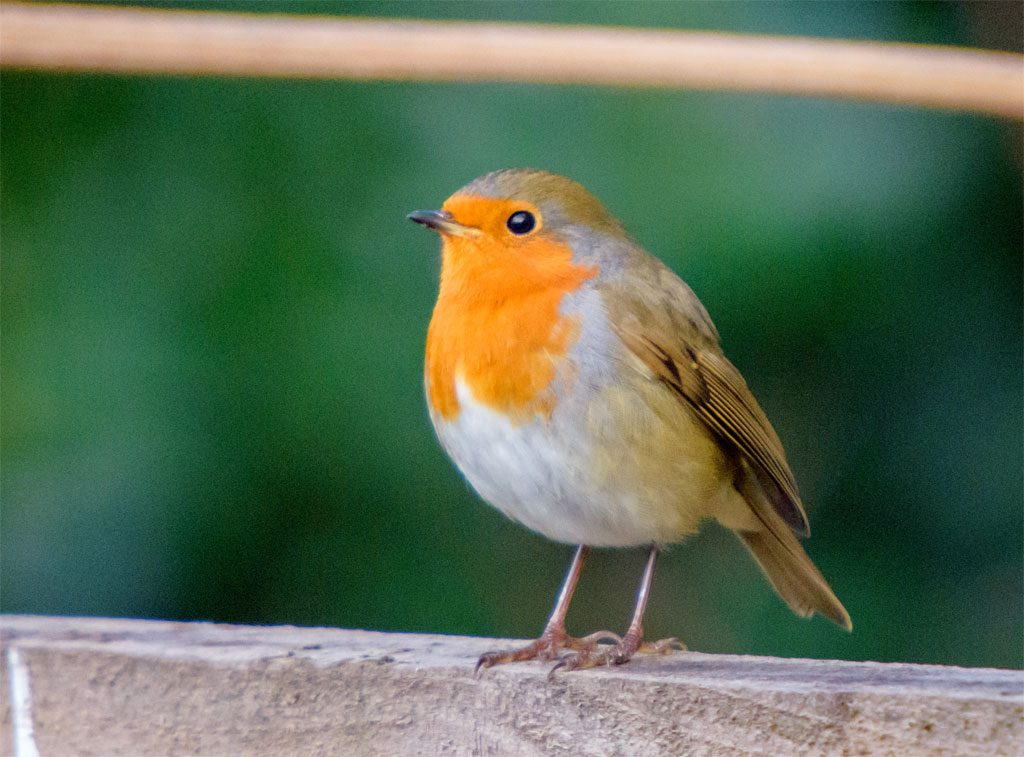 The RSPB Big Garden Birdwatch is coming - what will we see ...