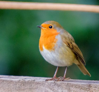 A Robin checks on one of the allotments.